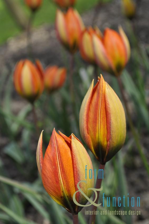 Tulipa turkestania