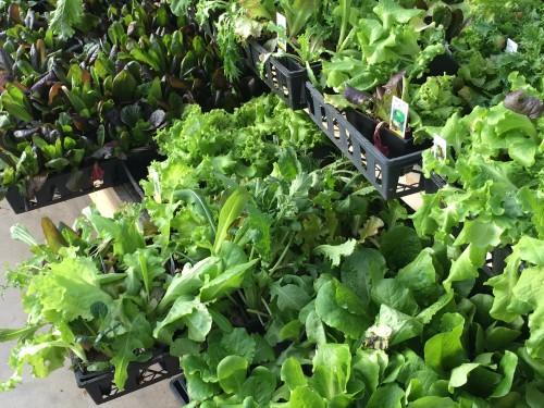 veggie bedding plants