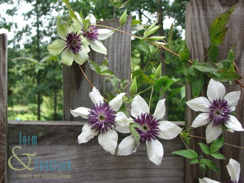 Clematis at fence