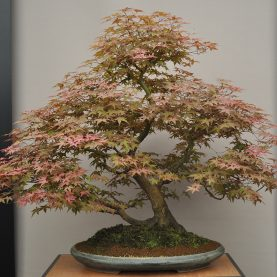 Bonsai myths