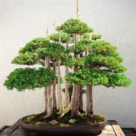 Bonsai myths… continued
