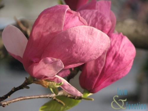 FF Magnolia saloungiana