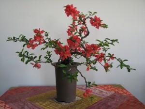 Quince bonsai 06