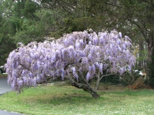Tree wisteria