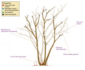 041105308_pruning_lagerstroemia_xlg