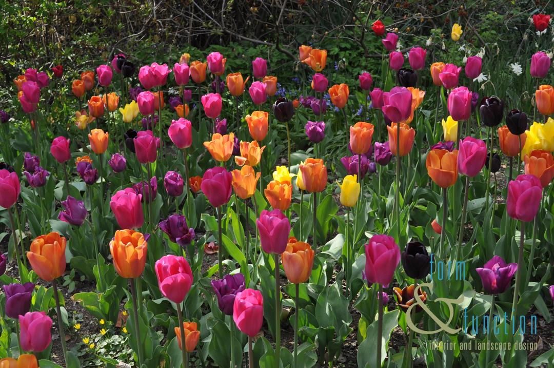 Tulip festival Harrogate