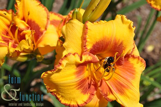Daylily and bumblebee