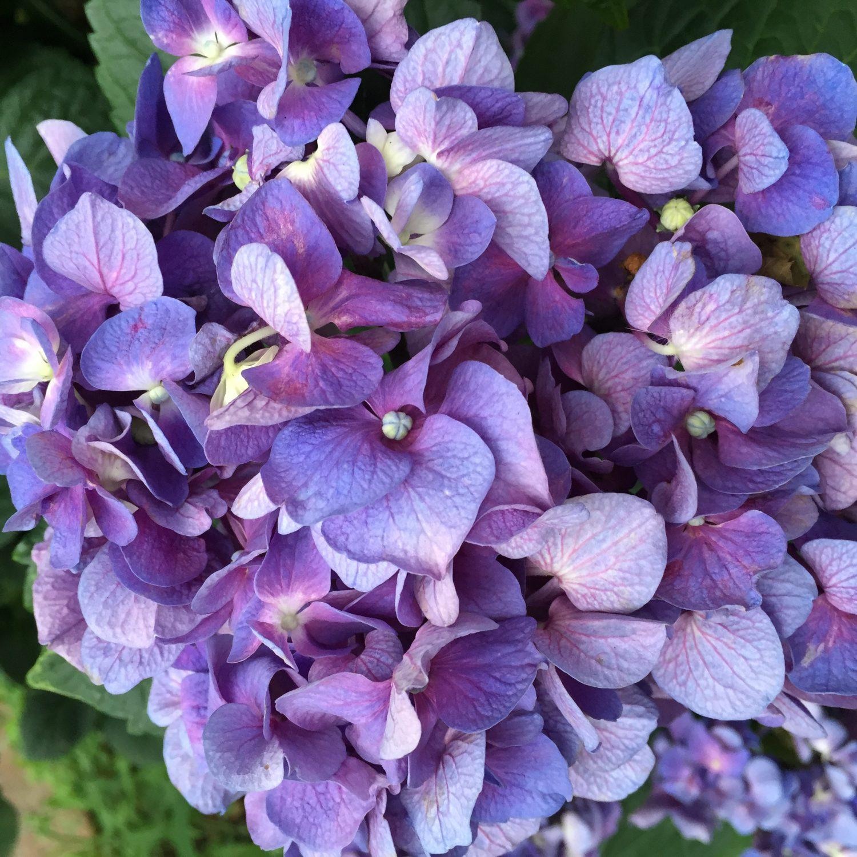 hydrangea-bloom