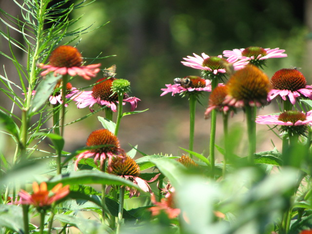 Echinacea is a medicinal and beautiful perennial.