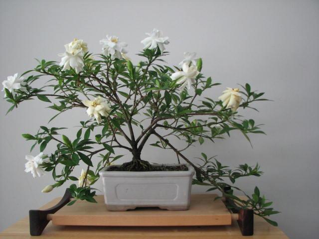 Gardenia bonsai 2